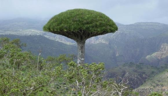 Middle East Monitor: UAE steals endangered trees from Yemen's Socotra