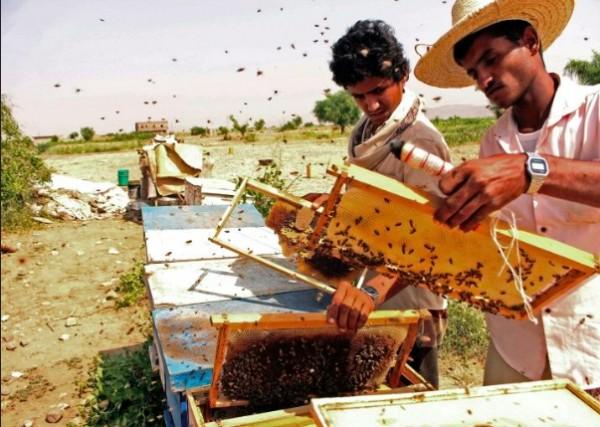 Tough times for Yemen honey trade as war drags on